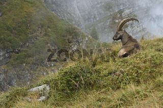 im Lebensraum... Alpensteinbock *Capra ibex*