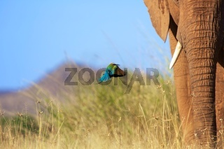 bee eater flying near an elephant at samburu national park