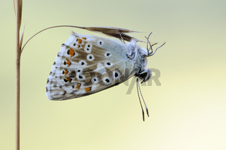 filigran... Silbergrüner Bläuling *Polyommatus coridon*