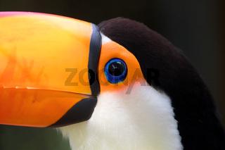 beautiful toucan costa rica