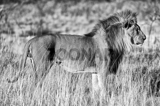 beautiful male lion at etosha national park namibia