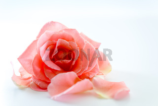 single rose flower