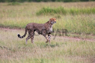 a cheetah hunting at the masai mara national park