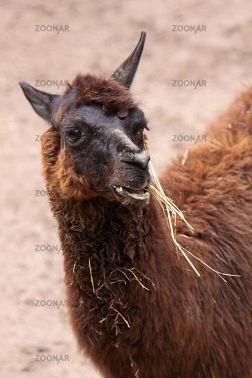 Fressendes Lama