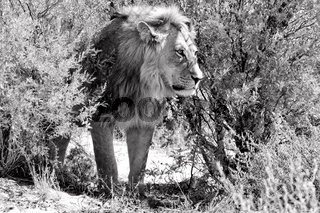 lion in the bush at kgalagadi national park south africa