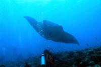 Manta Ray over Reef