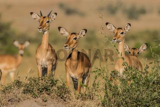 Aepyceros melampus, Impala,