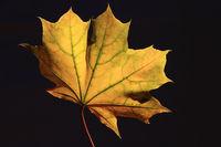 Herbstblatt 1