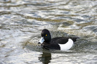 Tufted Duck - Aythya fuligula