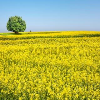 spring landscape of rapeseed flower field