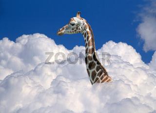 giraffe above clouds