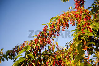 Prunus serotina red fruits grow