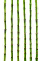 Fresh bamboo isolated