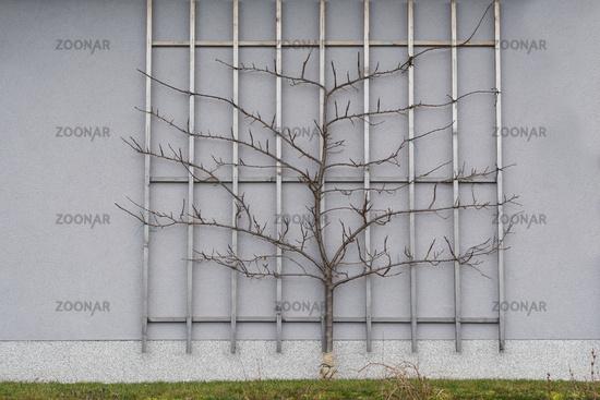 Foto Spalierobst Zwetschgenbaum Als Spalier Geformt Bild 8790330