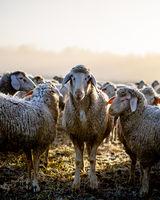 Die Schafe
