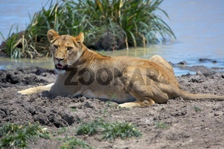 lioness near a waterhole at the masai mara