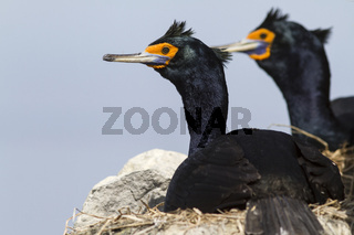 red-faced cormorants sitting in nests on the cliffs on a sunny day