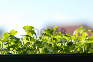 Green seedlings on sunlight