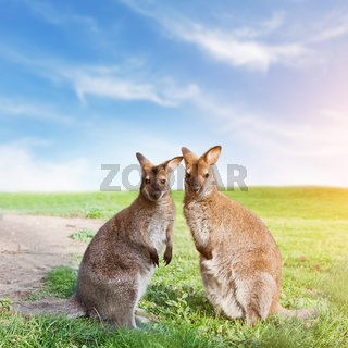 Kangaroo couple standing
