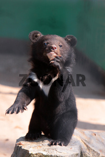 Kragenbär-Nachwuchs
