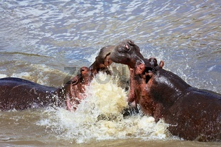 an hippo's fight at the masai mara
