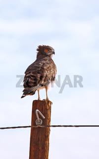 Schwarzbrust-Schlangenadler, Namibia, Black Chested Snake Eagle, Namibia