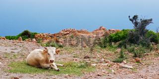 Freilebendes Rind auf dem 'Capu Rossu' - Korsika