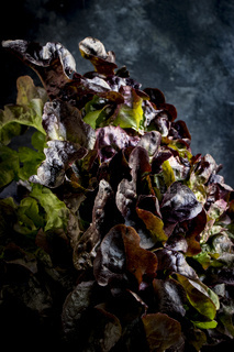 Ein Kopf Blattsalat der Sorte Lollo Rosso