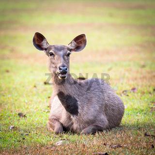 Sambar deers.