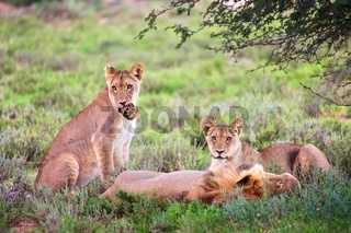 lions at kgalagadi transfrontier park south african side