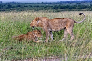 male and female lions at the masai mara national park