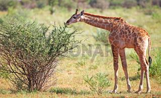 Junge Giraffe, Etosha Park, Namibia, young giraffe, Giraffa camelopardalis