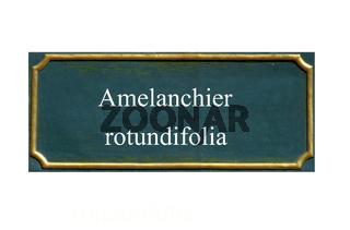 schild amelanchier rotundifolia, gemeine felsenbirne