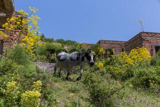 Kuh im Dorf