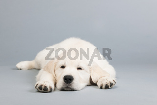 Puppy golden retreiver