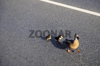 Ente mit ihren Kueken