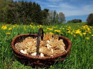 Korb mit Speisemorcheln in Wiese im Allgäu