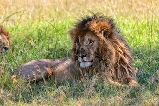 portrait of a the lion named scarface at the masai mara national park