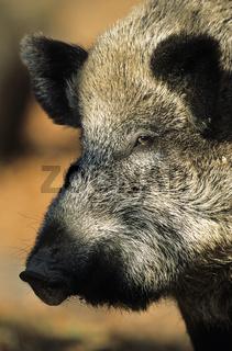 Wildschweinbache beobachtet die Umgebung - (Schwarzwild - Wildschwein) / Wild sow observing the environment - (Wild Hog - European Boar) / Sus scrofa