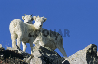 Dall-Schaflaemmer im Hochgebirge - (Alaska-Schneeschaf) / Dall Sheep lamb in the high mountains / Ovis dalli