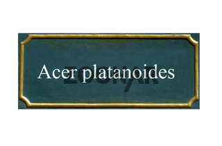 schild spitzahorn, acer platanoides, einheimisches gewaechs
