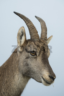 Porträt einer Steingeiss... Alpensteinbock *Capra ibex*