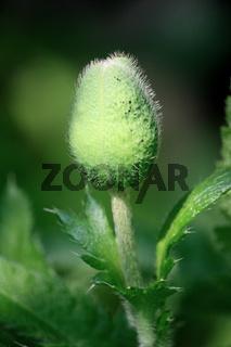 Mohn, Blütenknospe