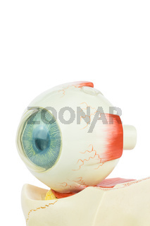 Model human eye isolated on white background