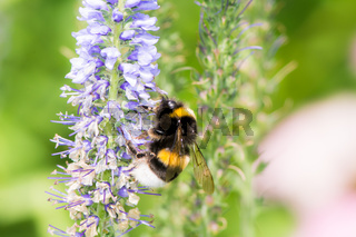 Bumblebee collecting nectar
