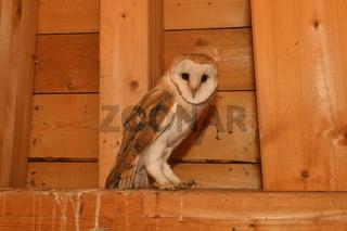im Dachstuhl... Schleiereule *Tyto alba*
