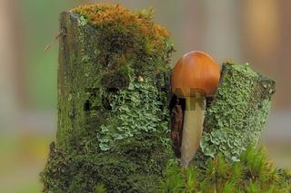 Pilz im Baumstumpf