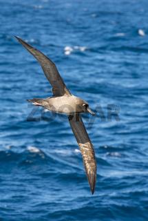 Light-mantled sooty Albatross flying.