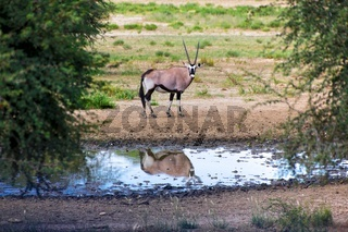 oryx at the kgalagadi transfrontier park south africa