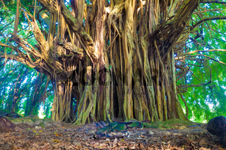 Giant banyan tree in Hawaii